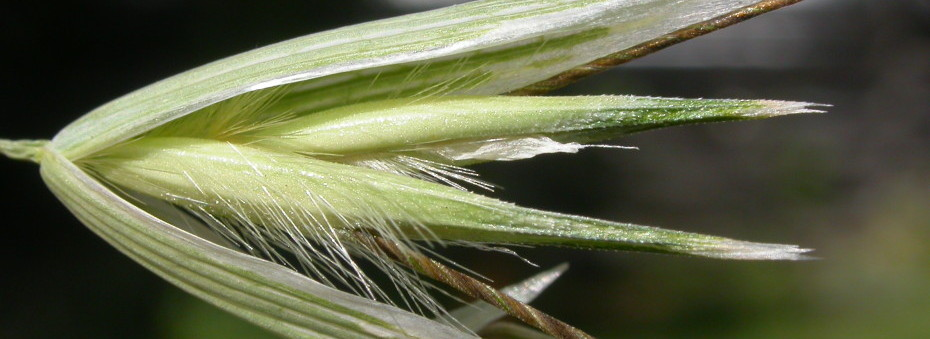 The lemma tips are not as strongly bifid and slender in wild oat compared to slender oat (Avena barbata)